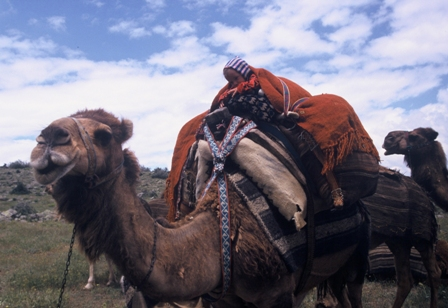Camel carrying the two symetric nomadic sac, the bedding pile and perdeh textile covering the load. Sarıkeçili Turkmens, Mersin, Southern Turkey