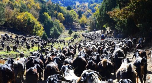 Anatolian Turkmen nomads migrating to winter quarters with their flocks Karakeçili tribe Ushak, 2019