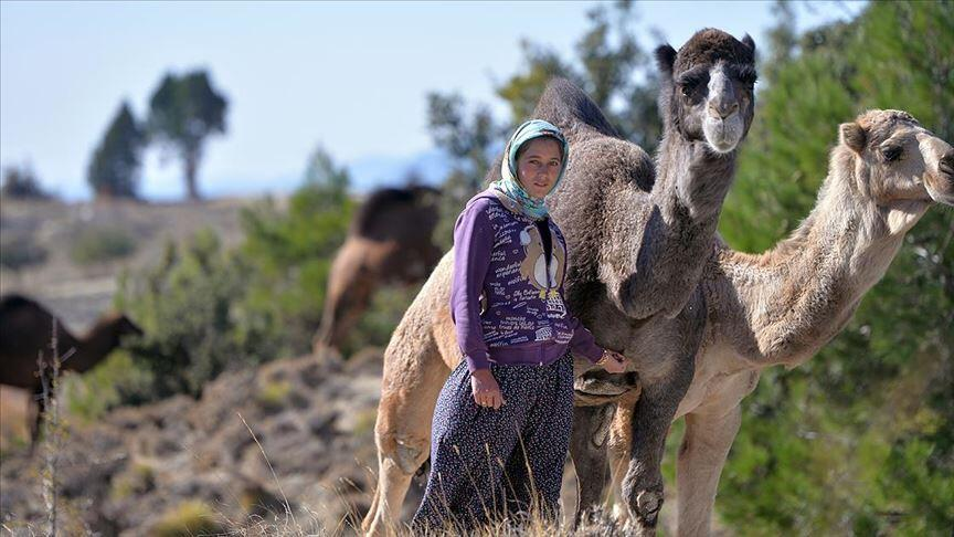 An Anatolan Turkmen nomad girl with her camels, Mersin Southern Turkey, 2020