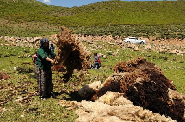 The fleeces are exposed to the sunlight, the sweat and urine of the sheep dries out. Beritan encampment Eastern Turkey