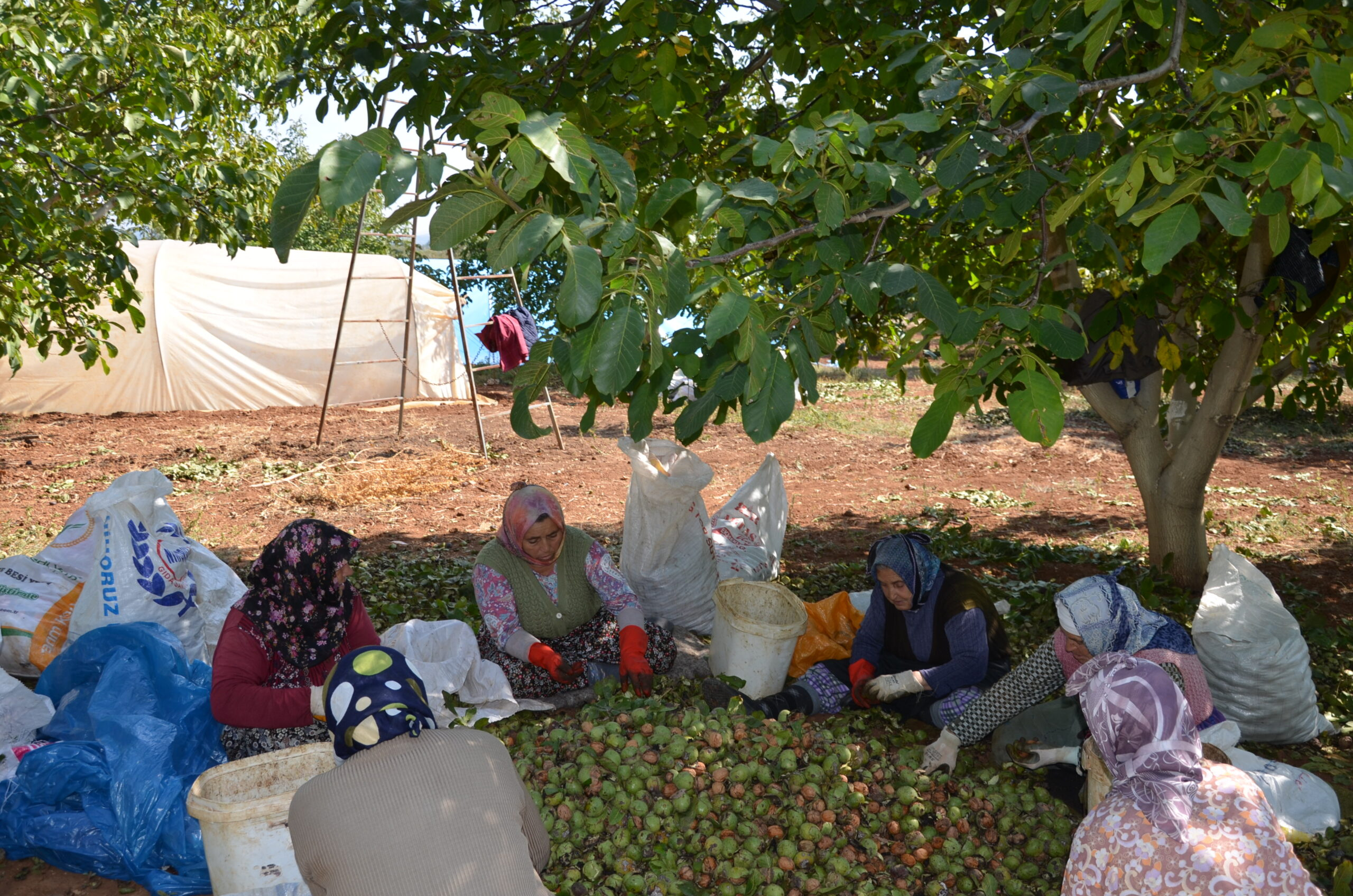 Walnut harvest, Gömbe, Antalya, South Western Turkey, 2016