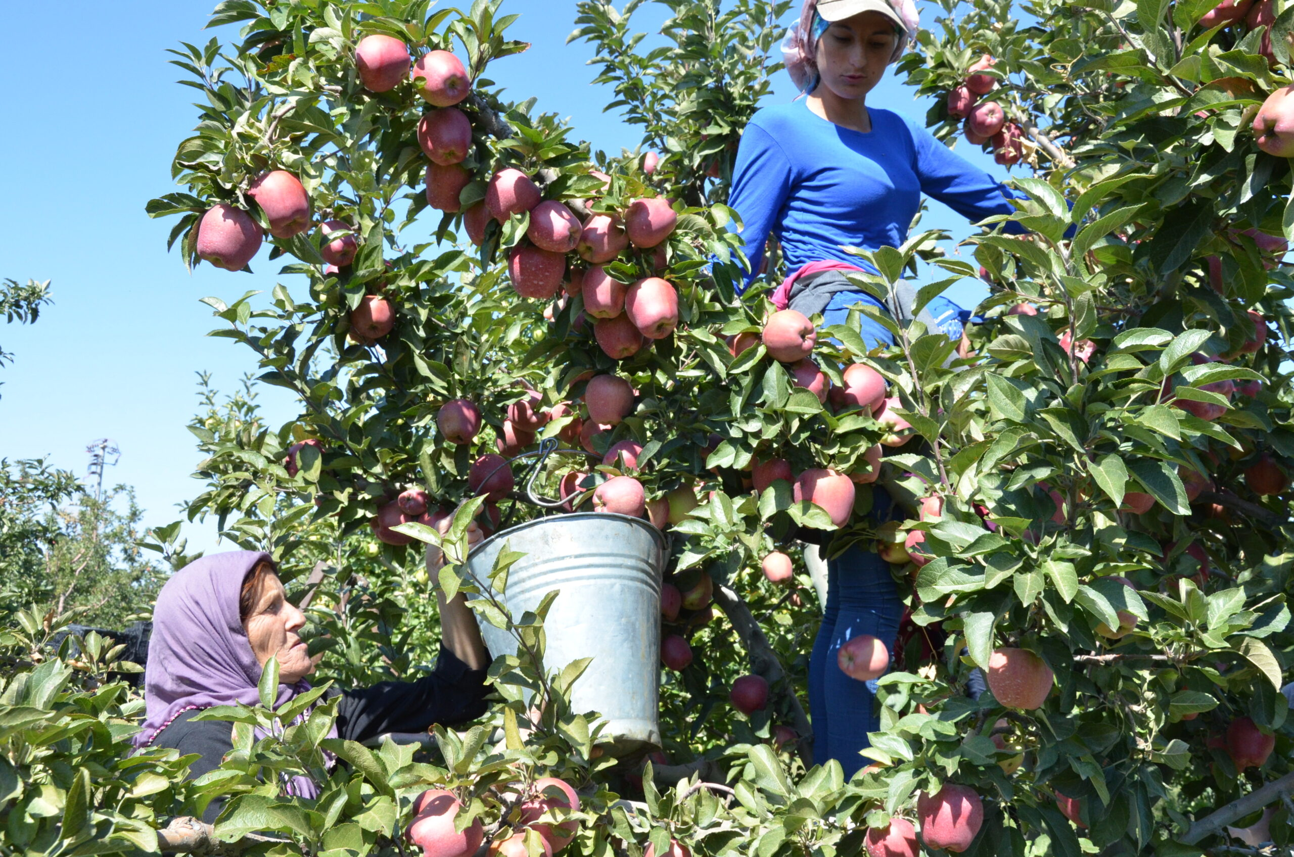 The harvest of the famous apples of the high lands in Western Taurus Mountains, Antalya, South Western Turkey, 2019