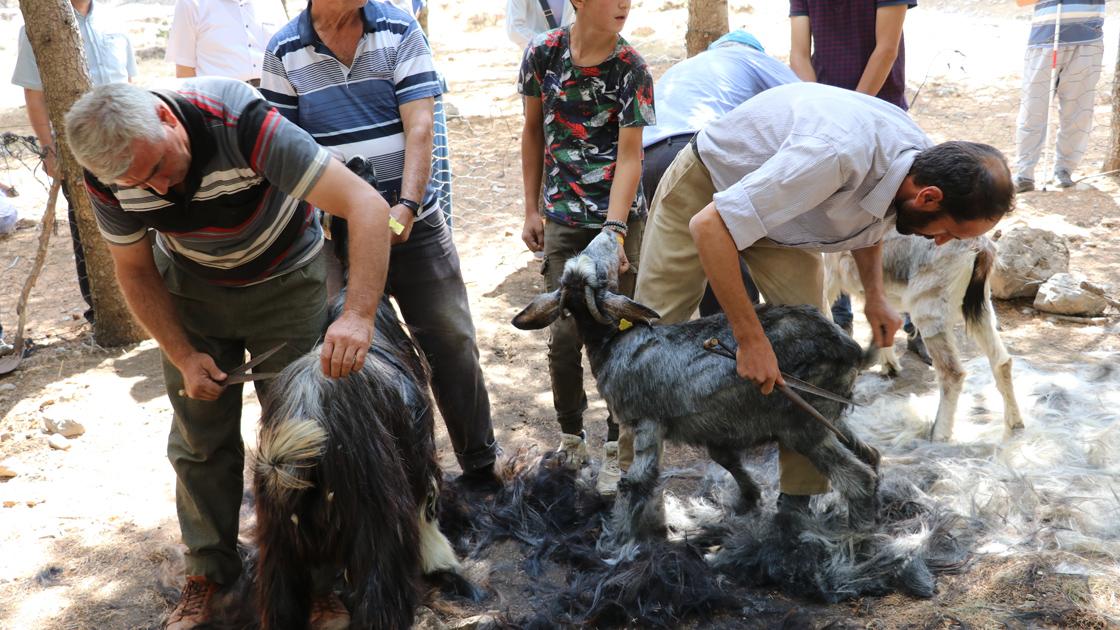 A local festival of Turkmens who Shear hair from the goats, Seferihisar İzmir, Western Turkey