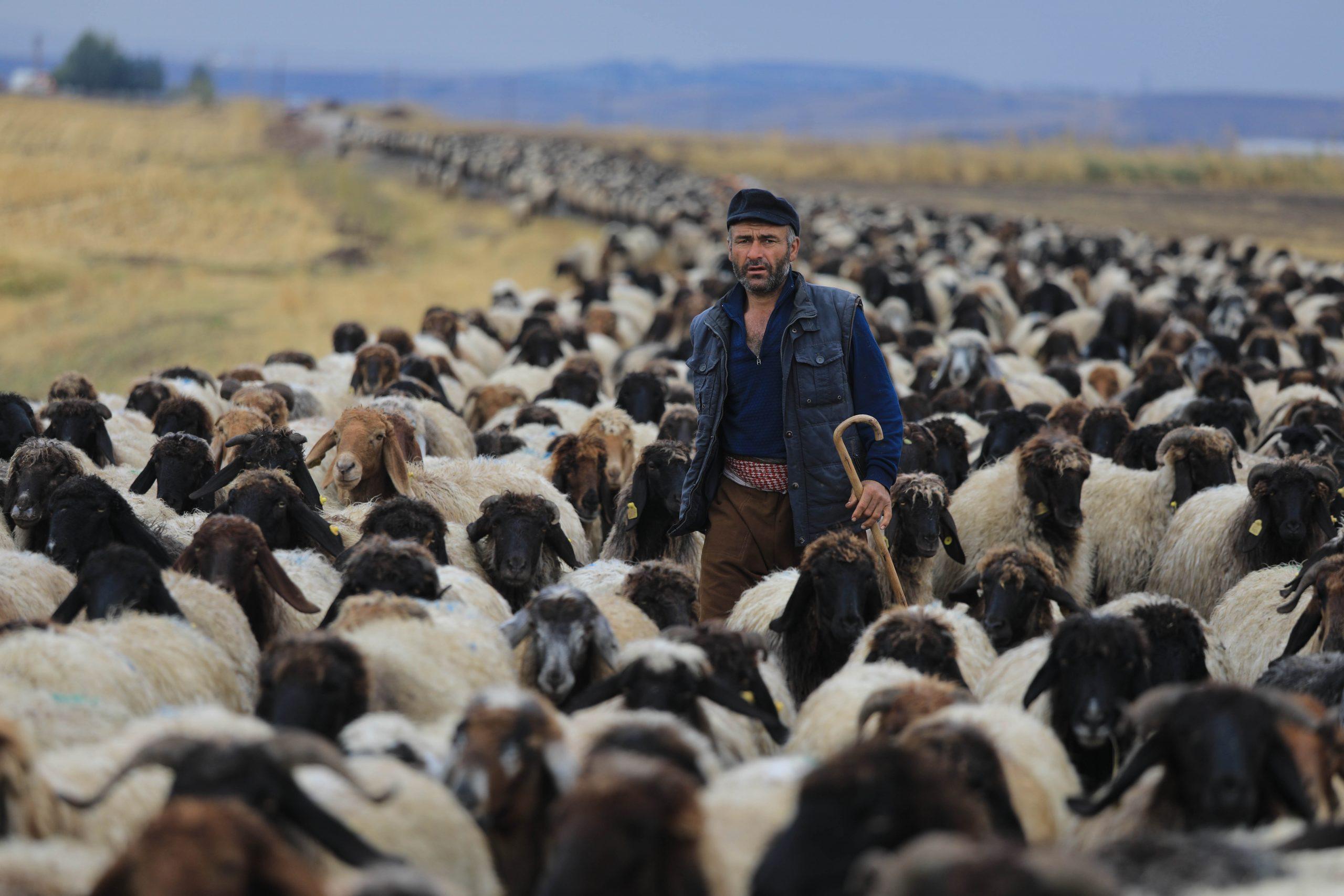 Sheep of Eastern Anatolia with long and glossy fibers, Tatvan, Bitlis