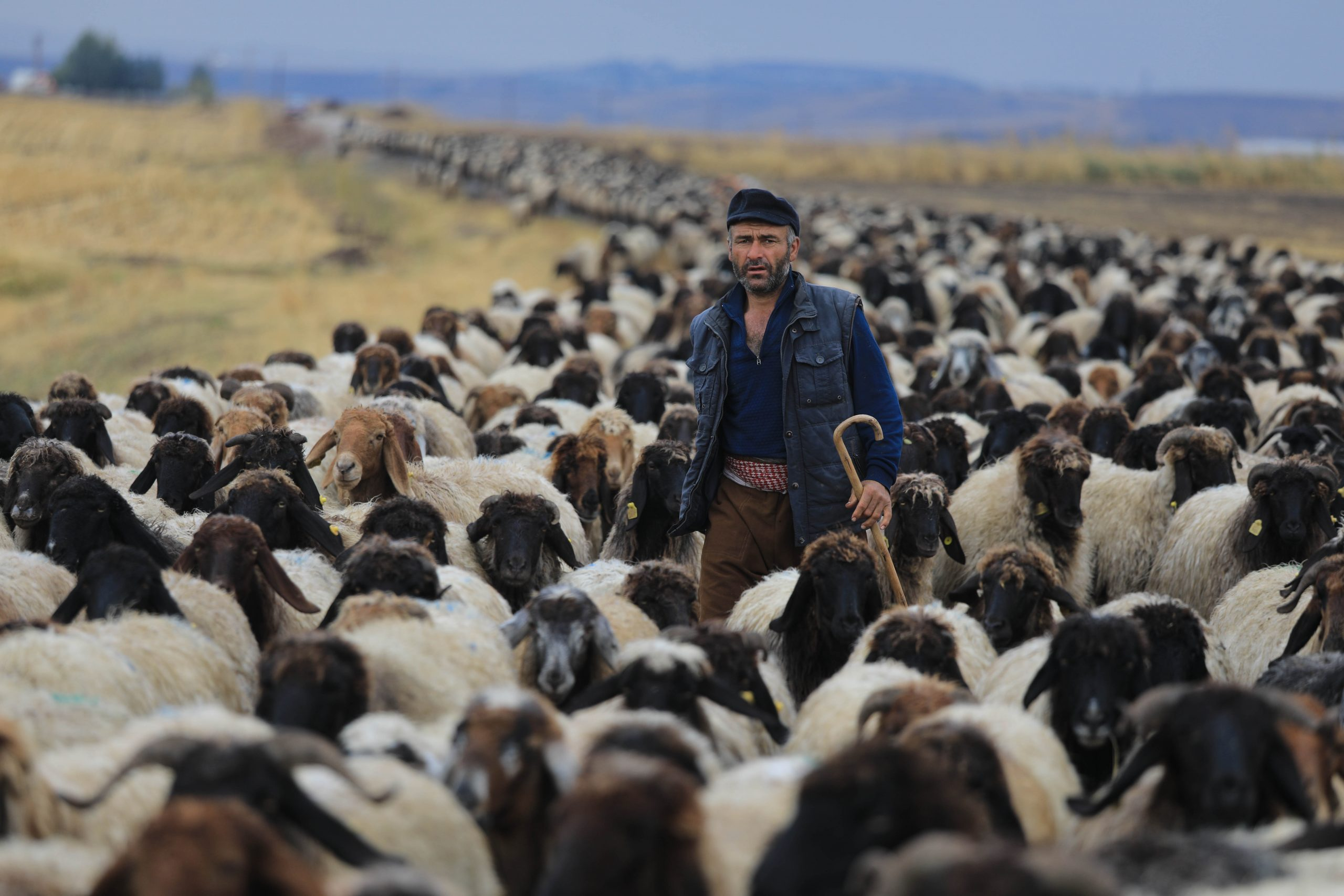 A Kurdish nomad man with some thousands of sheep belonging to his family