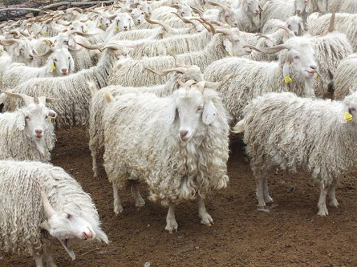 Angora goats from which the angora hair is taken to weave Sof fabric
